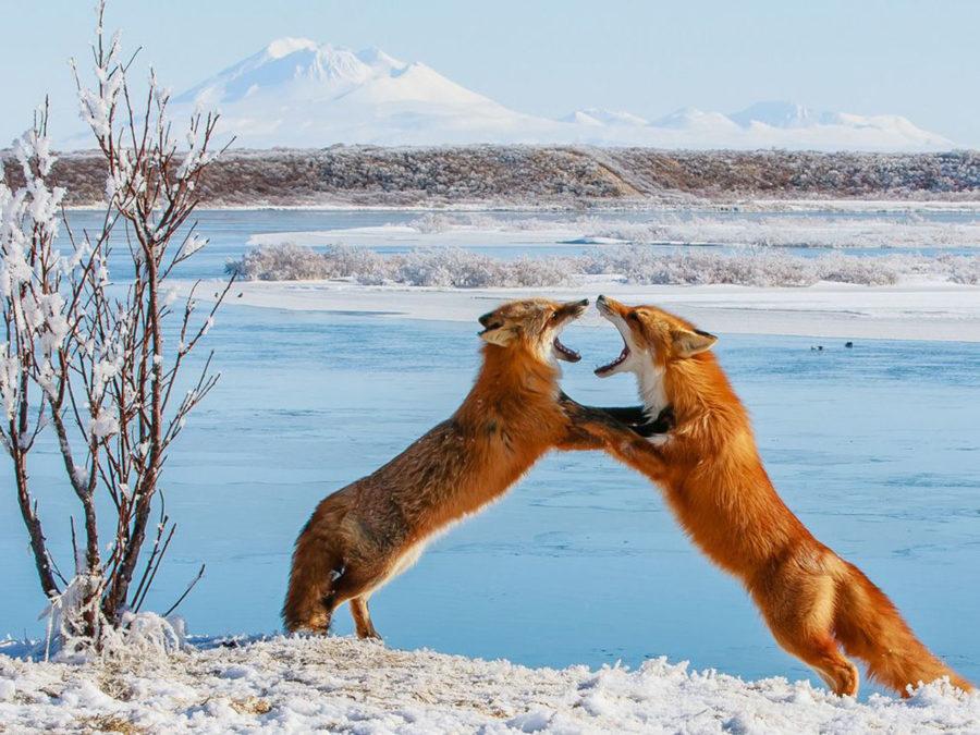 Лисы выясняют отношения на реке Угашик на Аляске